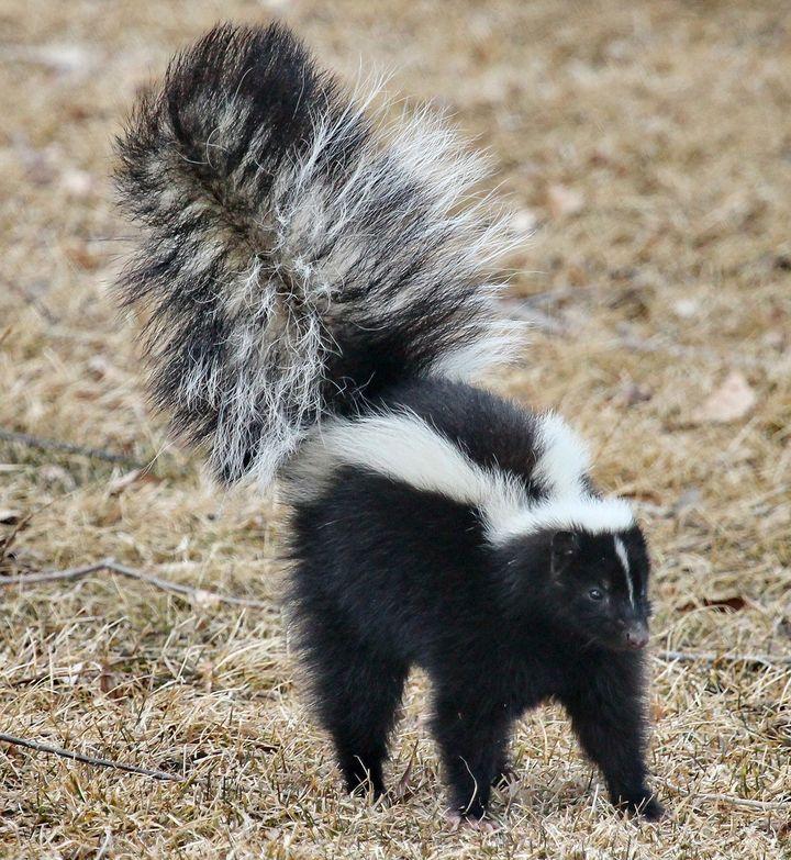 The Skunk's Warning